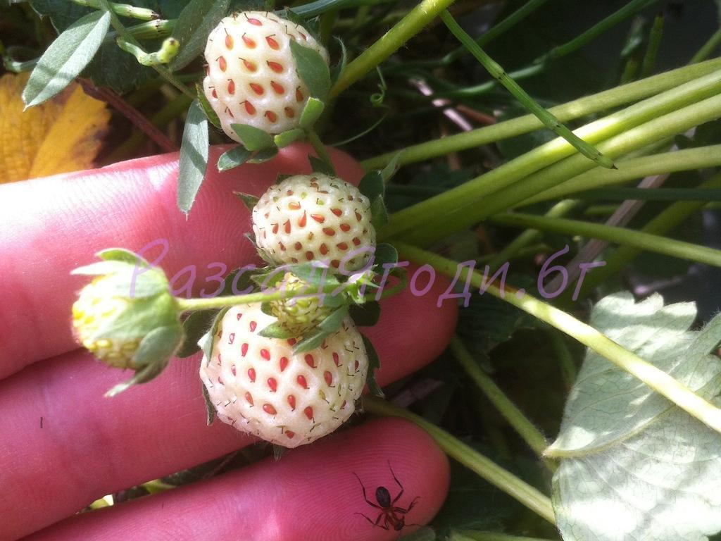 Средно ранен сорт Бяла ягода Пинбери - разсад в табла