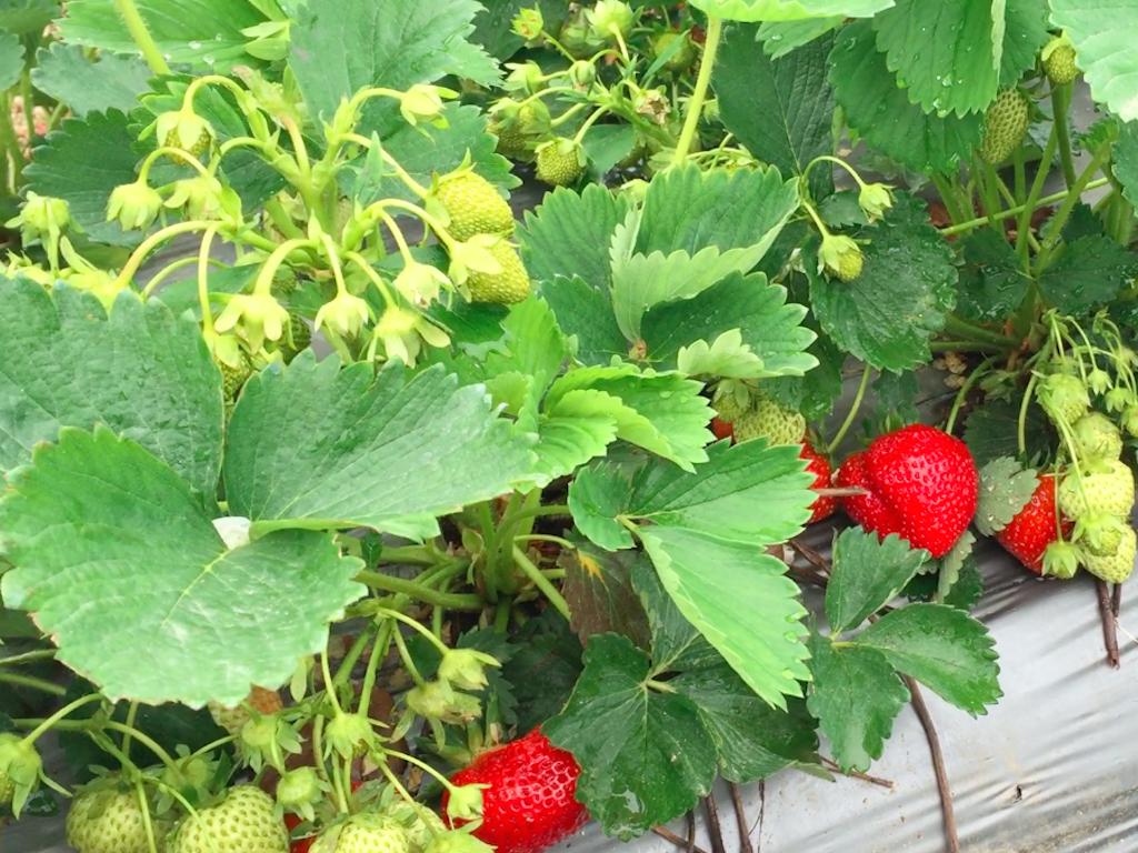 Средно ранен сорт ягоди Корона- Гол Корен