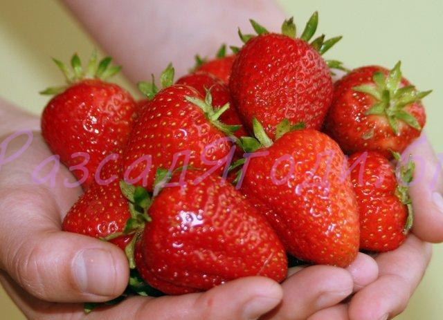 Целогодишни ягоди Сорт Селва - Разсад в табла
